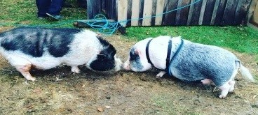 spencer_potbelly_pig