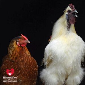 Chicken 4